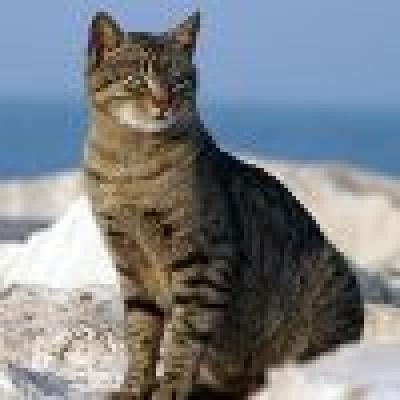 Кипърска котка