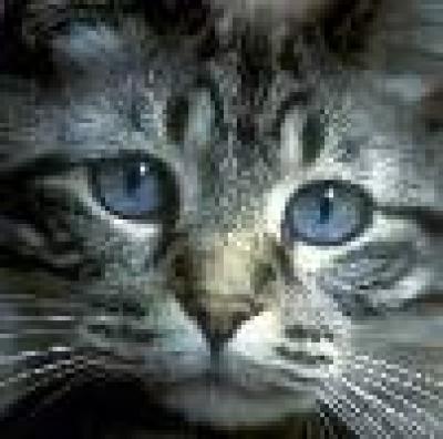 Европейска късокосместа котка
