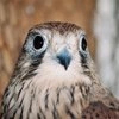 Осинови - Керкенез (Обикновена ветрушка - Falco tinnunculus)