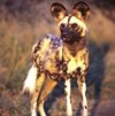 Хиеново куче
