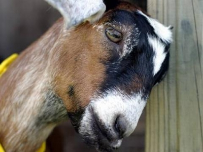 Арестуваха коза 1