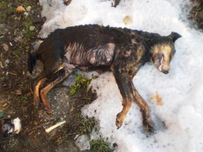 Убиват бездомни кучета в гр. Стражица, снимка1