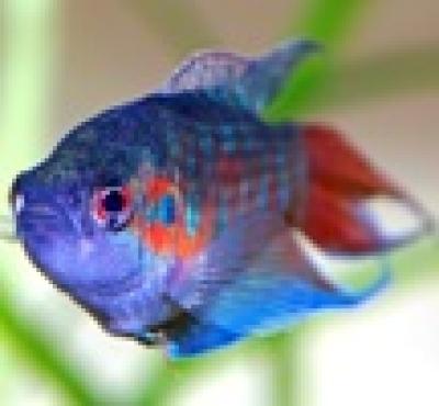 Райска рибка