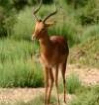- Откриха брадата антилопа в Кения