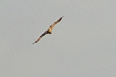 Царски орел  -