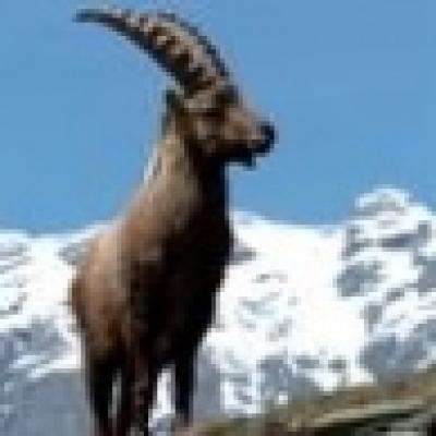"""Избрани НОВИНИ от пресата за Вас... - Диви кози от Родопите-в природен парк """"Витоша"""""""