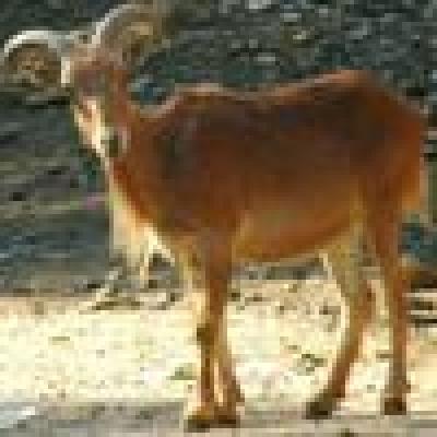 Слагат GPS на диви кози