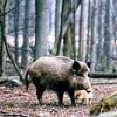 Избрани НОВИНИ от пресата за Вас... - Дива свиня отхапа пръста на ловец