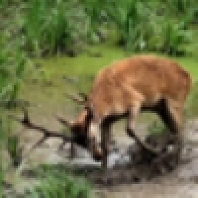 Палав елен живее в стопански двор край Габрово
