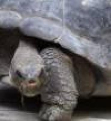 Бременна костенурка падна на главата на китайско момиче