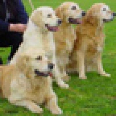 кучета-водачи