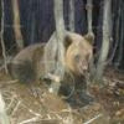 Проблемът с нападения от мечки в Смолянско