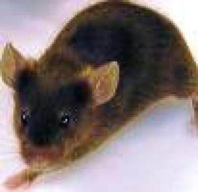 Мишки мутанти в Европа