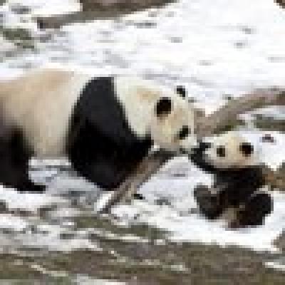 Новородена панда се влюби в снега