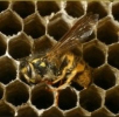Високи добиви на акациев мед отчитат в Белоградчик