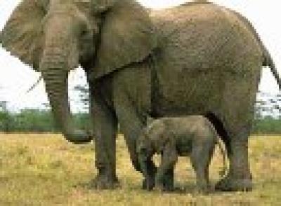 Слоница роди след 700 дни бременност
