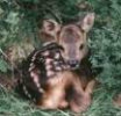 Заловиха бракониер, отстрелял сърна