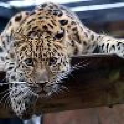 Избрани НОВИНИ от пресата за Вас... - Интерпол ще пази тигрите в Русия