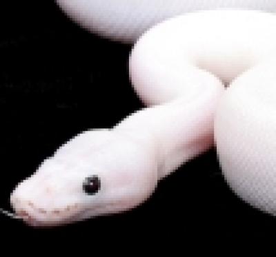Препарат срещу змии ще доставя Дезинфекционната станция в Смолян